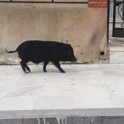 Baby pig walking through the village